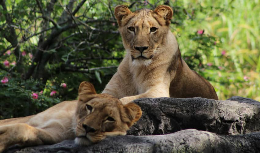 two lions lounge on a rock in Busch Gardens Tampa