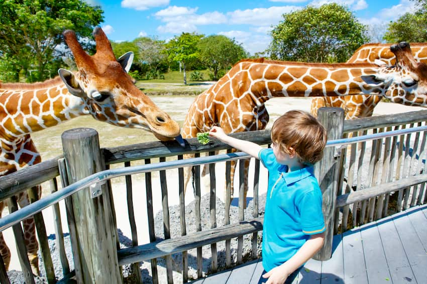 child at zoo miami feeding giraffes