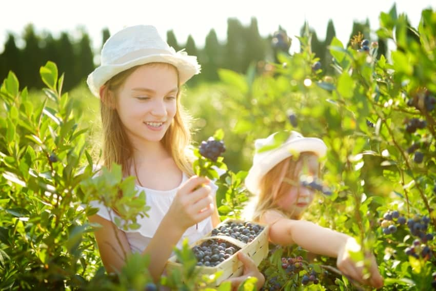 Girls picking blueberries at a farm