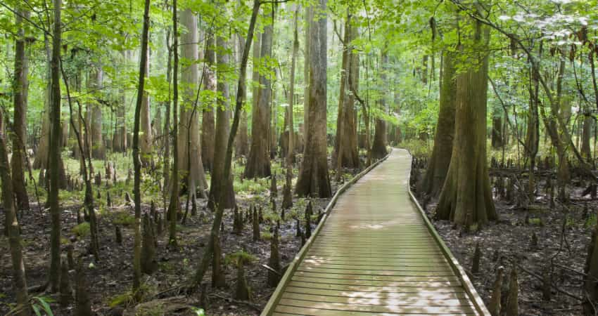 The boardwalk trail at Congaree National Park