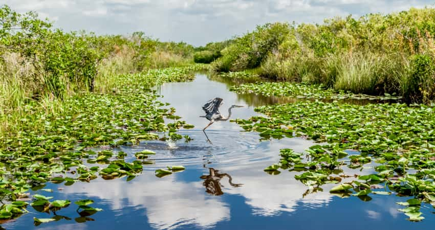 A heron takes flight in a marshy swamp